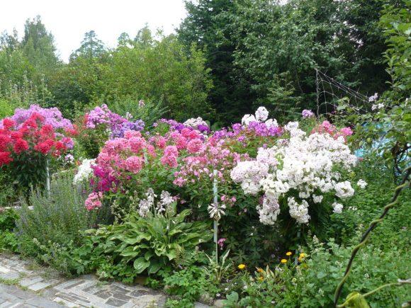 Поляна с флоксами в саду природного дизайна
