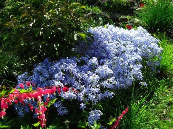 Голубые флоксы в саду пейзажного дизайна