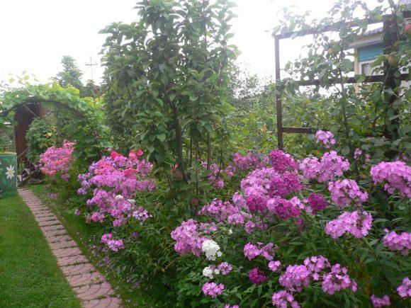 Розовые флоксы у садовой дорожки