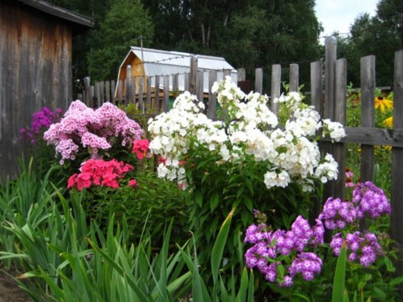 Флоксы у садового забора