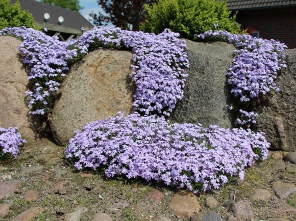 Стена из природного камня с колоритными флоксами
