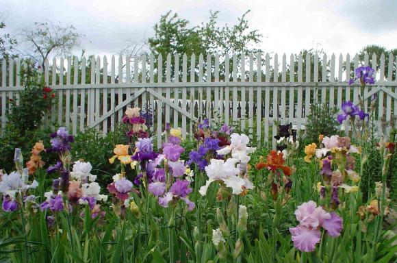 Ирисы у садового забора