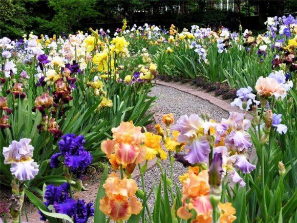 Яркий цветочный бордюр из ирисов у садовой дорожки