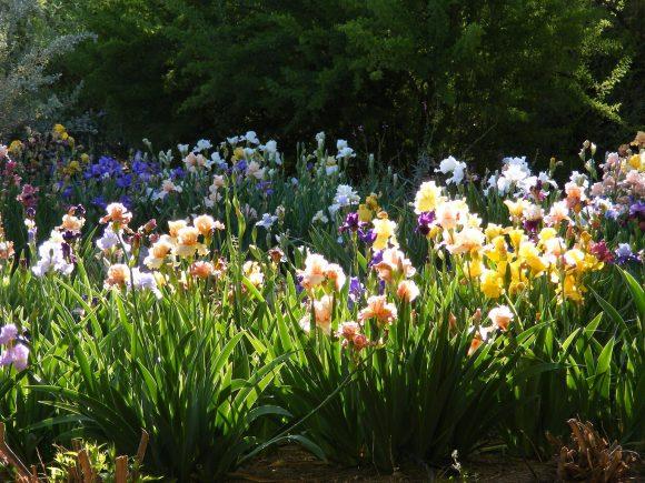 Ирисы в саду природного дизайна