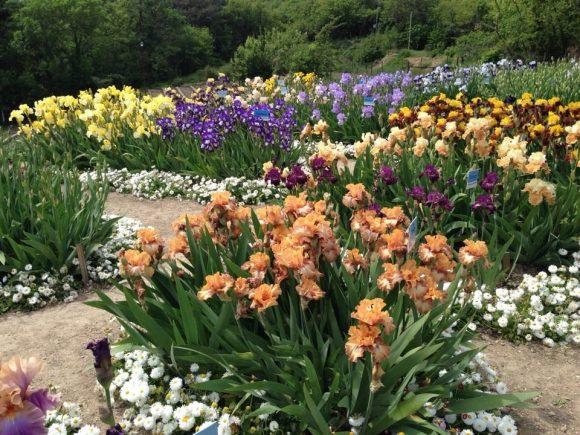 Ирисы вдоль дорожки в саду пейзажного дизайна