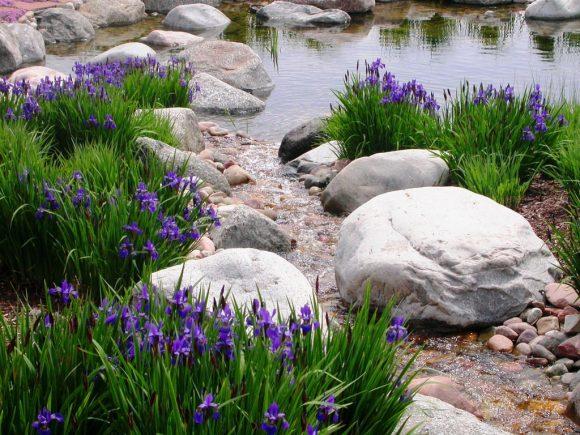 Ирисы на берегу естественного водоёма