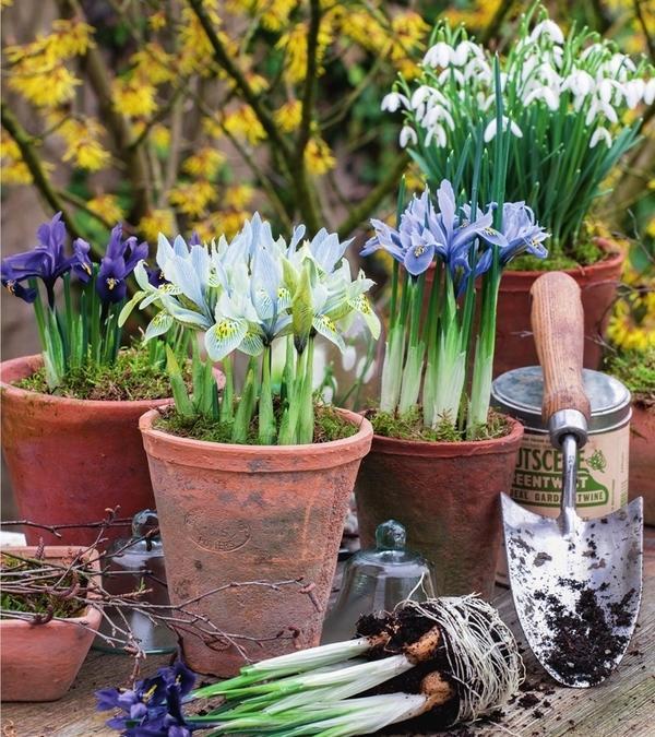 Купить осенние луковичные цветы почтой, виды свадебных