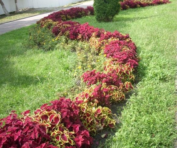 Садовая рабатка с разноцветным колеусом