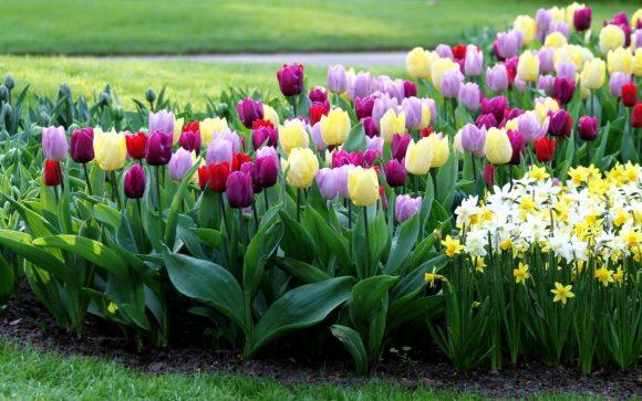 Разноцветные тюльпаны и нарциссы на клумбе