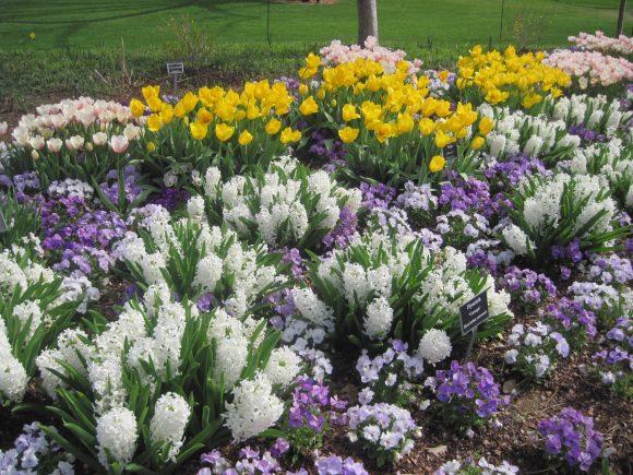 Клумба из тюльпанов и гиацинтов