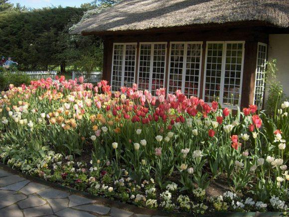 Тюльпаны в палисаднике у дома