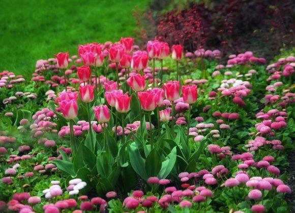 Тюльпаны и маргаритки на клумбе