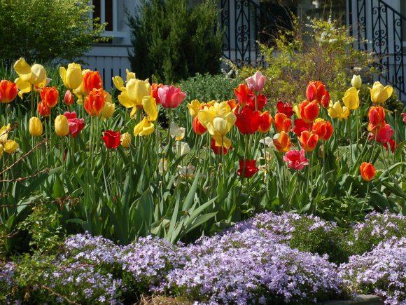 Тюльпаны и стелющиеся флоксы на клумбе