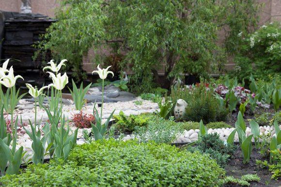 Белые тюльпаны на рокарии