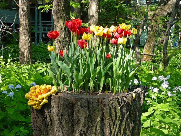 Тюльпаны на старом пне