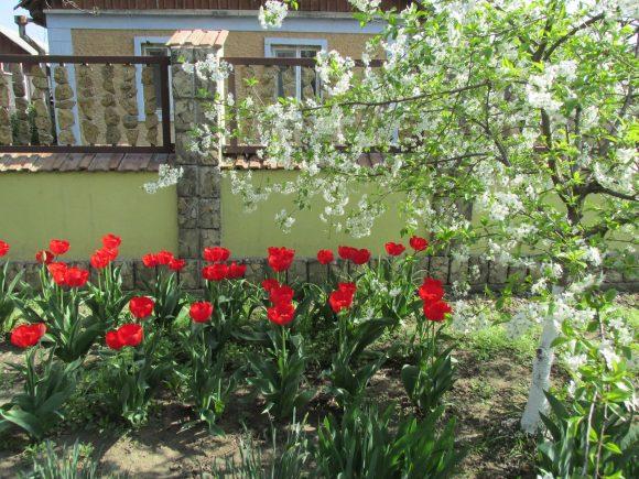 Красные тюльпаны у дачного забора