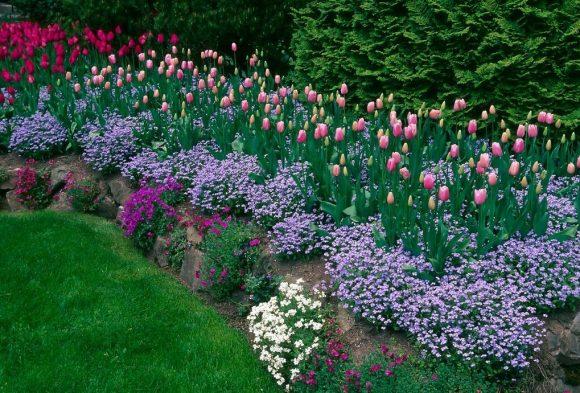 Тюльпаны и незабудки на клумбе