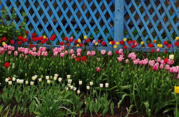 Разноцветные тюльпаны у дачного забора