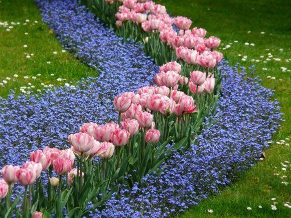 Эффектная рабатка из тюльпанов и незабудок