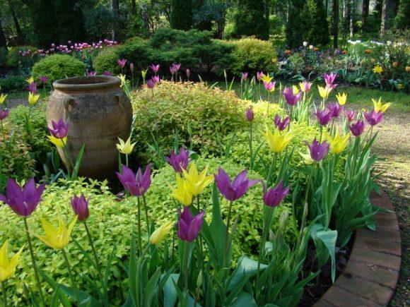 Тюльпаны и низкорослая спирея на клумбе