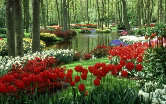 Тюльпаны на берегу природного ручья