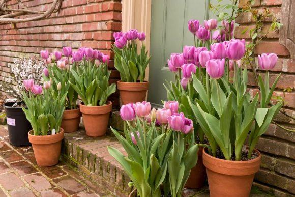 Тюльпаны в горшках у дома