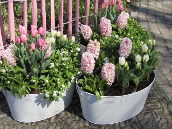 Тюльпаны и гиацинты в контейнерах