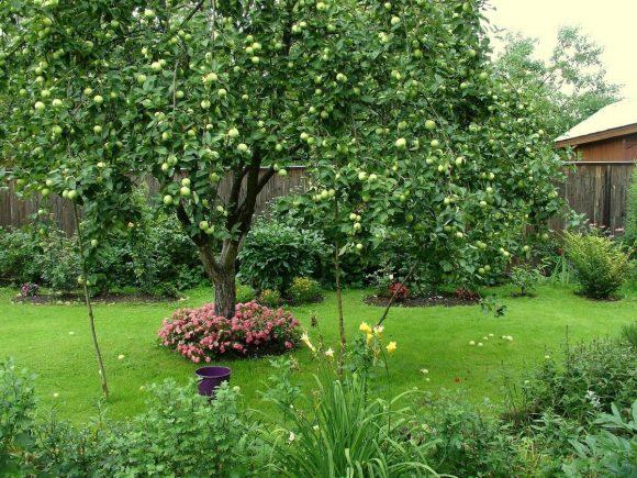Яблоня на участке деревенского дизайна