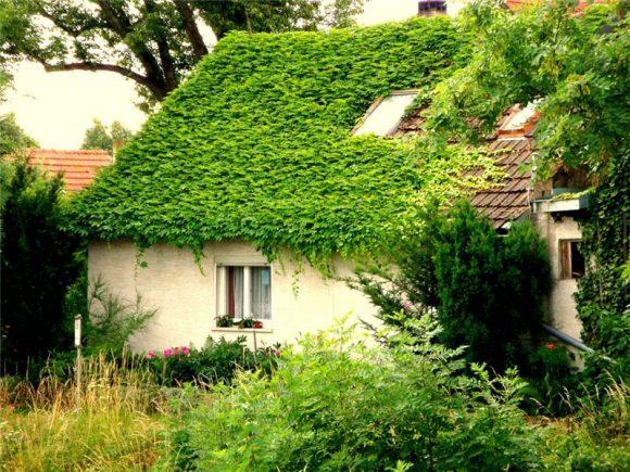 Дачный домик, увитый плющем