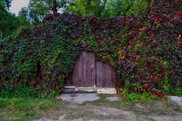 Девичий виноград на деревенском заборе