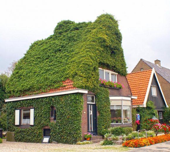 Плющ на крыше загородного дома