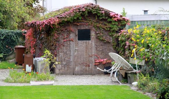 Девичий виноград на крыше сарая